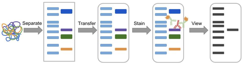 Western blot process overview
