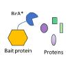 Proximity labeling BioID