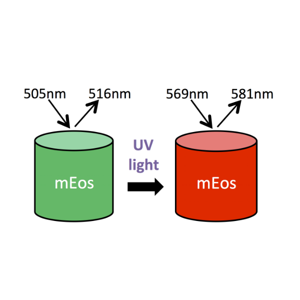 Photoactivatable Fluorescent Proteins
